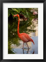 Framed Pink flamingo, Bavaro, Higuey, Punta Cana, Dominican Republic