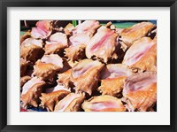 Framed Conch Shells, St Georges, Grenada, Caribbean