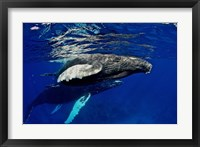 Framed Humpback whale calf, Silver Bank, Domincan Republic