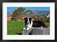 Framed Border Collie dog