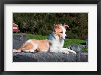 Framed Border Collie puppy dog lying