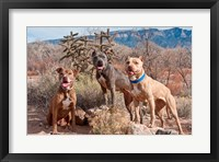 Framed Three Pitt Bull Terrier dog, New Mexico