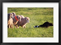 Framed Purebred Border collie dog and Merino sheep