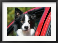 Framed Purebred Border Collie dog, red truck window