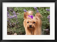 Framed Purebred Yorkshire Terrier dog, purple bow