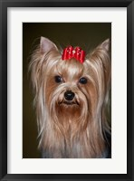 Framed Show Yorkshire Terrier Dog with red bow