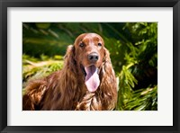 Framed Irish Setter lying surrounded by greenery