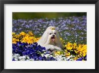 Framed USA, California Maltese lying in flowers with yellow bow