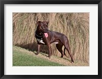 Framed American Pitt Bull Terrier dog