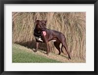 Framed American Pitt Bull Terrier dog