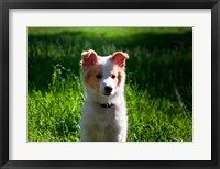 Framed Border Collie puppy dog in a field