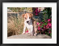 Framed American Pitt Bull Terrier puppy dog