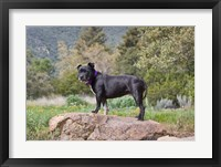 Framed Staffordshire Bull Terrier dog in garden