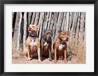 Framed American Pitt Bull Terrier dogs, NM