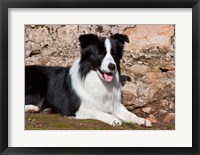 Framed Border Collie dog next to a rock wall