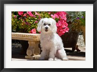 Framed USA, California Maltese sitting next to garden bench with flowers