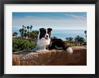 Framed Border Collie dog resting on a wall