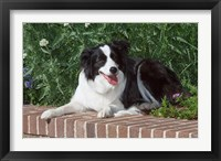 Framed Purebred Border Collie dog lying on wall