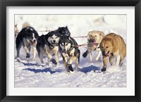 Framed Iditarod Dog Sled Racing through Streets of Anchorage, Alaska, USA