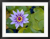 Framed Blue Water Lily, Jardin De Balata, Martinique, French Antilles, West Indies