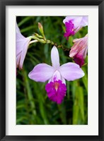 Framed MARTINIQUE, West Indies Bamboo orchid, Balata Garden