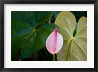 Framed Peace Lily, Jardin De Balata, Martinique, French Antilles, West Indies