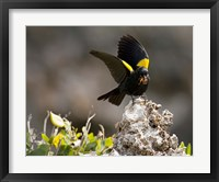 Framed Yellow shouldered blackbird, Mona Island, Puerto Rico