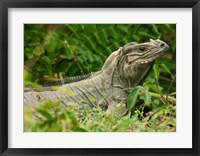 Framed Ground Iguana lizard, Pajaros, Mona Island, Puerto Rico