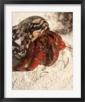 Framed Caribbean hermit crab, Mona Island, Puerto Rico