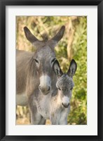 Framed Mother and Baby Donkeys on Salt Cay Island, Turks and Caicos, Caribbean