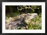 Framed Iguanas (Lizard), Cayman Islands, Caribbean