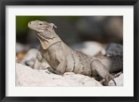 Framed Cayman Islands, Caymans iguana, Lizard, rocky beach