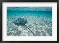 Framed Cayman Islands, Southern Stingray in Caribbean Sea