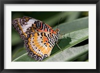 Framed Lacewing Butterfly at the Butterfly Farm, St Martin, Caribbean