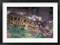 Framed Trinidad, Asa Wright Nature Ctr, Tiger Lizard