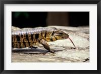 Framed Golden Tegu Lizard, Asa Wright Wildlife Sanctuary, Trinidad, Caribbean
