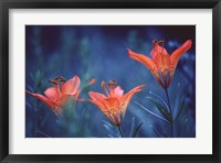Framed Alberta, Jasper National Park Wood lily flowers