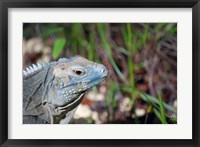 Framed Iguana lizard, Queen Elizabeth II Park, Grand Cayman