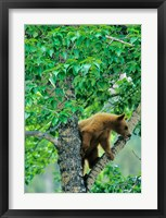 Framed Black bear, aspen tree, Waterton Lakes NP, Alberta