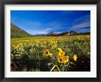 Framed Arrowleaf balsomroot flowers, Waterton Lakes NP, Alberta