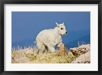 Framed Mountain Goat, Rocky Mountains, Colorado