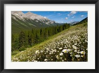 Framed Oxeye daisy flowers, Kananaskis Range, Alberta