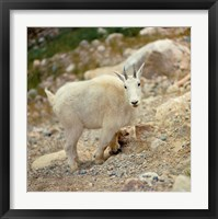 Framed Alberta, Banff NP, Rocky Mountain goat