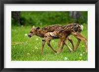 Framed Canada, Alberta, Waterton Lakes NP, Mule deer fawns