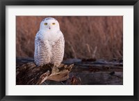 Framed Snowy owl, British Columbia, Canada