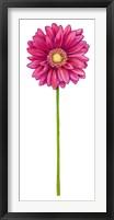 Framed Floral Gerbera Daisy