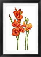 Framed Floral Gladiolas