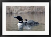 Framed British Columbia Common Loon with chick