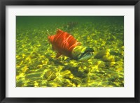 Framed British Columbia, Adams River Sockeye salmon migrating