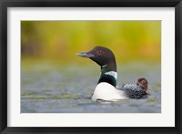 Framed British Columbia, Common Loon, breeding plumage